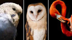 Birds Of A Feather Aren't Necessarily Related : Shots - Health ... Catching Prey In The Dark Barn Owl Tyto Alba Owls Make A Comeback Iowa The Gazette Of Australia Australian Geographic How To Build Or Buy Nest Box Company Best 25 Ideas On Pinterest Beautiful Owl Owls And Modern Farmer Absolutely Stunning Barn Drawing From Artist Vanessa Foley Audubon California Starr Ranch Live Webcams Red By Thef0xdeviantartcom Deviantart Tattoo Scvnewscom Opinioncommentary Beautifully Adapted 9 Best Images A Smile Animal Fun