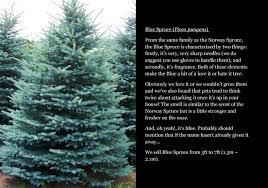 Nordmann Fir Christmas Tree Smell by Spruce Pine And Fir Christmas Trees Stagsden Christmas Trees