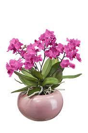 orchidée avec cache pot villaverde