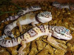 Do Baby Leopard Geckos Shed by Leopard Gecko The Life Of Animals