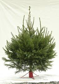 Fraser Christmas Trees Uk by 9 Of The Best Real Christmas Trees And Where To Find Them The