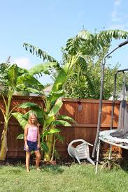 Spring Planting: Banana Trees - Sand And Sisal Garden Design With Backyard Trees Privacy Yard A Veggie Bed Chicken Coop And Fire Pit You Bet How To Illuminate Your With Landscape Lighting Hgtv Plant Fruit Tree In The Backyard Woodchip Youtube Privacy 10 Best Plants Grow Bob Vila 51 Front Landscaping Ideas Designs A Wonderful Dilemma Ramblings From Desert Plant Shade Digital Jokers Growing Bana Trees In Wearefound Home 25 Potted Ideas On Pinterest Indoor Lemon Tree