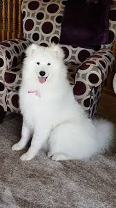 Do Samoyeds Shed All The Time by 245 Best Favorite Pets Images On Pinterest Puppies Animals And