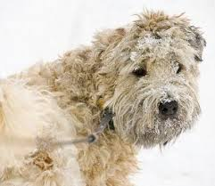 Do Wheaten Terrier Dogs Shed by Soft Coated Wheaten Terrier Dogs Soft Coated Wheaten Terrier Dog