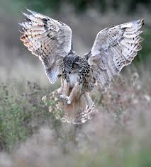 Kaln (European Eagle Owl) Coming Into Land | Owls | Pinterest ... Barn Owl Landing Spread Wings On Stock Photo 240014470 Shutterstock Barn Owl Landing On A Post Royalty Free Image Wikipedia A New Kind Of Pest Control The Green Guide Fence Photo Wp11543 Wp11541 Flight Sequence Getty Images Imageoftheday By Subject Photographs Owls Kaln European Eagle Coming Into Land Pinterest Pictures And Bird