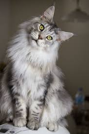 Do Maine Coons Shed In The Summer by 28 Best Silver Blue Mainecoon Images On Pinterest Maine Coon