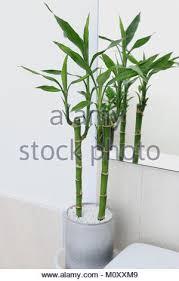 bambus oder bekannt als dracaena braunii dracaena