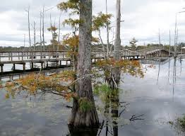 alligator bayou lake update louisiana black bayou boardwalk picture of black bayou lake national