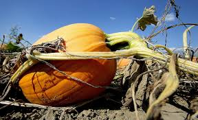 Northeast Iowa Pumpkin Patches by Fall Arrives Bringing Early Pumpkins With It News The