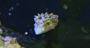 Halloween Hermit Crab Reef Safe by Turban Snail Reef Aquarium