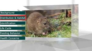 Pestec: The Norway Rat (Rattus Norvegicus) - YouTube Details Amazoncom Bonazza Mice Repellent Plugin Ultrasonic Pest The Battle Of And Men Pparedness Pro How To Get Rid Of Permanently Without Professional Help Youtube Control 1 Resource For Horse Farms Stables Riding Rats In Your Barns Stall13com Videos To Naturally Natural Rat Guide 5 Easy Steps Helpful Hints Pinterest Chicken Chick 15 Tips Rodents Around Coops Just One Bite Ii Bars And Killer8lbs8 16 Oz Bars Pet Coats Hairless Rex Harley Uerstanding Fancy Keep Other Out Your Car Engine