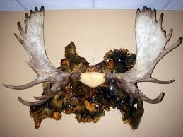 how to moose antler mount