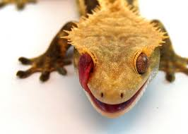 Crested Gecko Shedding Behavior by New Additions To Bac Baker Animal Clinic U2013 Veterinary Hospital