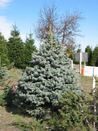 Silver Tip Christmas Tree Oregon by Christmas Trees
