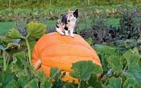 Atlantic Giant Pumpkin Taste by The Great Pumpkins