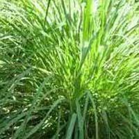 natural essential oils indian basil oil manufacturers mentha