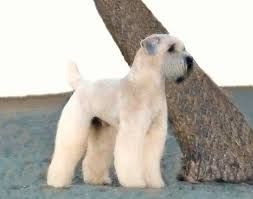 10 facts about the soft coated wheaten terrier s silky coif petcha