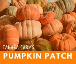 Tanaka Farms Pumpkin Patch by Tanaka Farms Pumpkin Patch Giveaway U2014 Socal Halloween