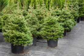 Christmas Tree Seedlings by Christmas Trees In Pots For Sale Stock Photo Picture And Royalty