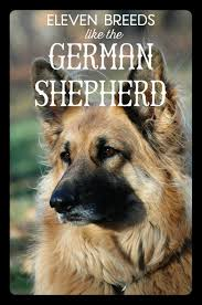 Dogs That Shed Very Little by 11 Dog Breeds Like The German Shepherd Pethelpful