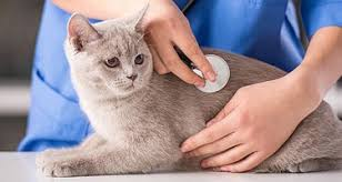 Excessive Hair Shedding In Cats by Cat Losing Hair How Much Shedding Is Normal Care Com Community