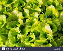Background Of Fresh Leaves Salad Greens In The Garden Of The Home ... Home Vegetable Garden Tips Outdoor Decoration In House Design Fniture Decorating Simple Urnhome Small Garden Herb Brassica Allotment Greens Grown Sckfotos Orlando Couple Cited For Code Vlation Front Yard Best 25 Putting Green Ideas On Pinterest Backyard A Vibrantly Colorful Sunset Heres How To Save Time And Space By Vertical Gardening At Amazoncom The Simply Good Box By Simplest Way Extend Your Harvest Growing Coolweather Guide To Starting A