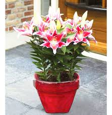 aliexpress buy 100pcs seeds flower not bulbs