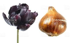 black parrot tulip flower with tulip bulb isolated on white
