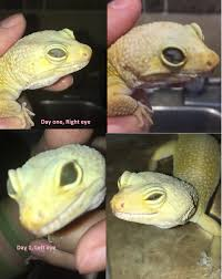 Crested Gecko Shed Stuck On Eye by 100 Can Leopard Geckos Shed Too Much 45 Best Leopard Geckos