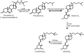 Uv Lamp Vitamin D Supplement by Frontiers Vitamin D In Plants A Review Of Occurrence Analysis