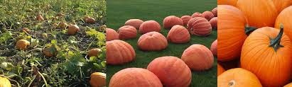 Pumpkin Patch Toledo Ohio by Keil U0027s Produce And Greenhouse Fall Home Decorations Pumpkin Patch