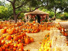 Real Pumpkin Patch Dfw by The Dallas Arboretum Arboretum Pumpkin Village Pumpkin Fall At