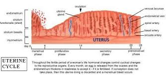 shedding uterine lining before period uterus and the menstrual cycle the uterine cycle