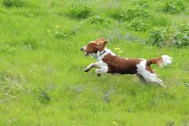 Welsh Springer Spaniel Shedding by Dean Spanley Incarnation Is For Consciousness Never For A Self