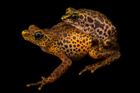 Do Aquatic Dwarf Frogs Shed Their Skin by Endangered Species Images Page 4 Of 20 Joel Sartore