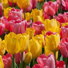 tulip bulbs item 1234 pink margarita for sale