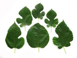 Mulberry Leaves Come In Various Shapes And Sizes