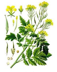 moutarde blanche en cuisine moutarde blanche wikipédia