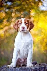 Do Brittany Spaniels Shed Hair by Best 25 Brittany Spaniel Puppies Ideas On Pinterest Brittany