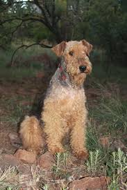 Do Airedale Puppies Shed by The Airedale Terrier Willaire Airedales