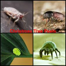 Christmas Tree Has Aphids by Pests In Real Christmas Trees Debugged