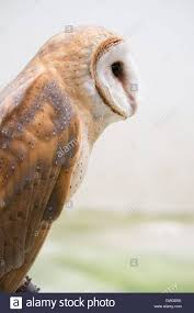 Common Barn Owl ( Tyto Alba Stock Photo, Royalty Free Image ... Common Barn Owl 4 Mounths In Front Of A White Background Stock Royalty Free Images Image 23603549 Known Photo 552016159 Shutterstock Owl Wikipedia 644550523 Mdc Discover Nature Tyto Alba Perched On A Falconers Arm At Daun Audubon Field Guide Mounths Lifeonwhite 10867839 Barnowl 1861 Best Owls Snowy Saw Whets Images Pinterest Photos Dreamstime