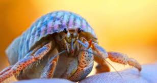 Do Hermit Crabs Shed Their Body by U2022hermit Crabs Care Sheet U2022 Animal Amino Amino