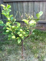 diagnosis why isn t my lemon tree growing gardening