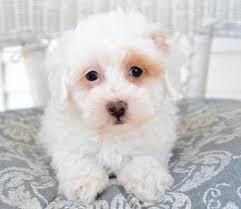 Do Jackie Bichon Shed by Pooton Puppies By Design Online