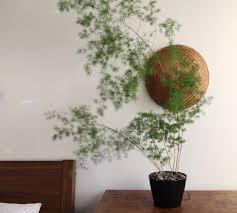 asparagus retrofractus fern potteplanter stueplanter