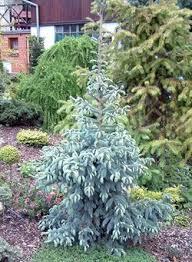 Picea Engelmannii Glauca Blue Englemann Spruce