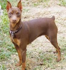 99 best miniature pinscher dogs images on pinterest doggies