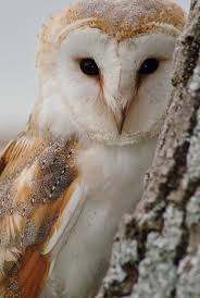 60 Best Owls Images On Pinterest | Barn Owls, Owl Photos And ... 382 Best Barn Owls Images On Pinterest Barn Owl Photos And Beautiful My Sisters Favorite It Used To Be Mine Pin By Hans De Graaf Uilen Bird Animal Totem Native American Zodiac Signs Birth Symbolism Meaning Dreams Spirit 1861 Snowy Saw Whets 741 Owls Birds 149 Animals 2 Snowy Owl Necklace Ceramic Pendant The Goddess Touch Animism Youtube Pole Trollgirl Deviantart