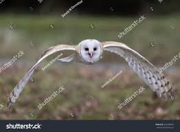 Barn Owl Flying Stock Photo 355940876 - Shutterstock Barn Owl Tyto Alba 4 Months Old Flying Stock Photo Image Beauty Of Bird Our Barn Owl The Tea Rooms Chat Rspb Community A Flying At Folly Farm In Pembrokeshire West Wales Winter Spirit By Hontor On Deviantart Audubon Field Guide Vector 380339767 Shutterstock Wallpaper 12x800 Hunting A Royalty Free Tattoos Tattoo Ideas Proyectos Que Debo Ientar